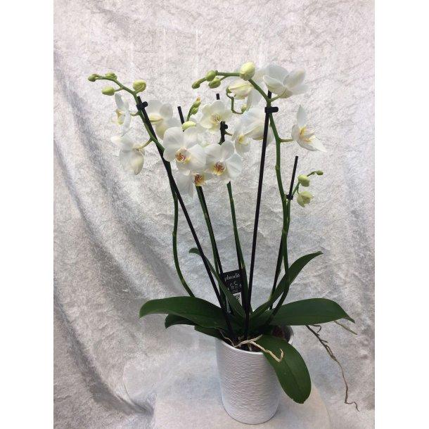 Hvit orkide fem grenet