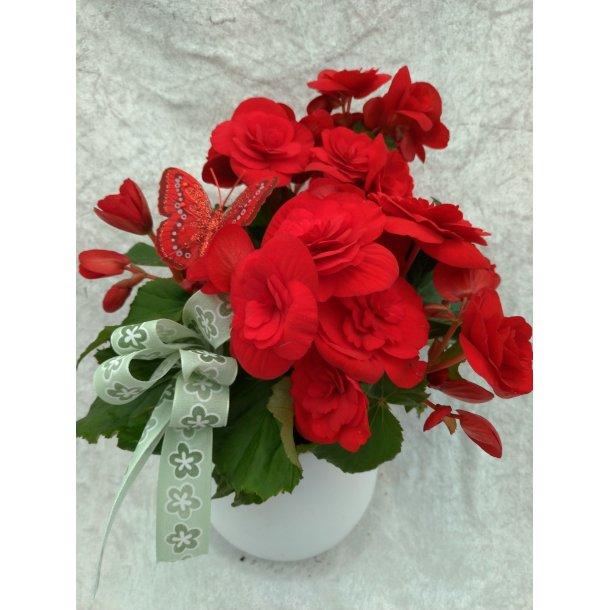 Rød begonia med potte og pynt