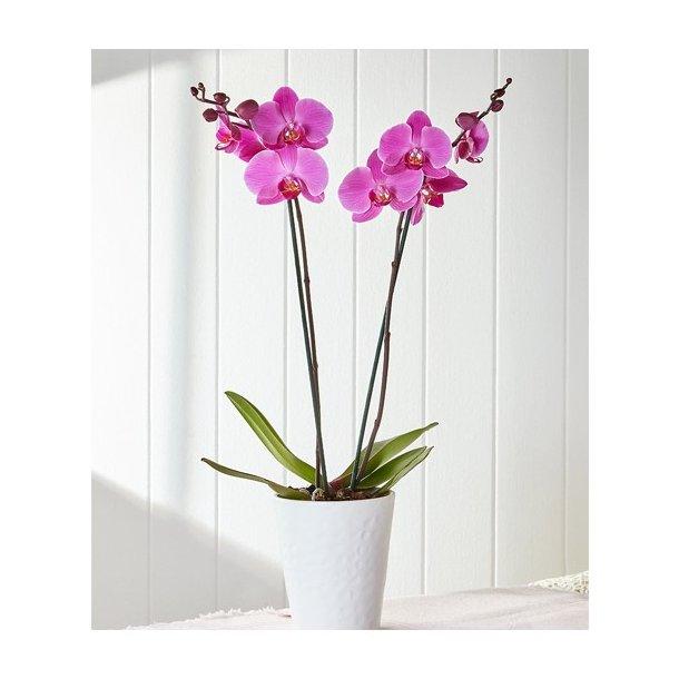 Orkide med to grener
