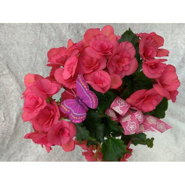 Rosa begonia med potte og pynt